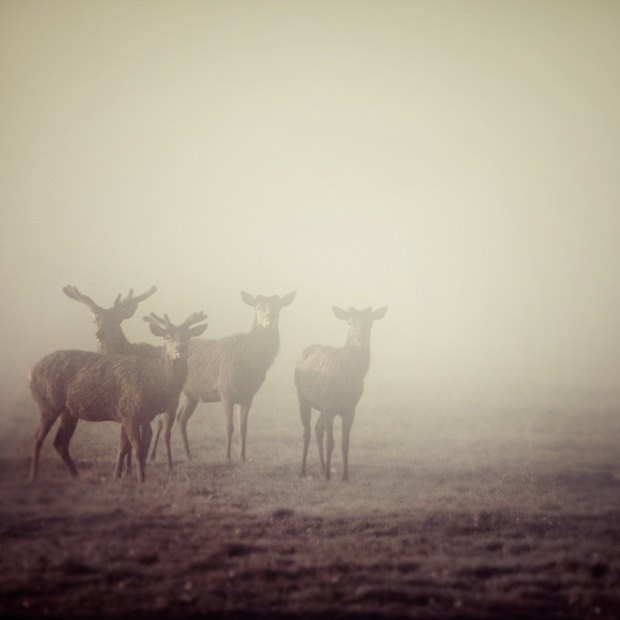 2014 deer in fog nature photography spring minimal fathers day simple animals for him purple decor p-f63903