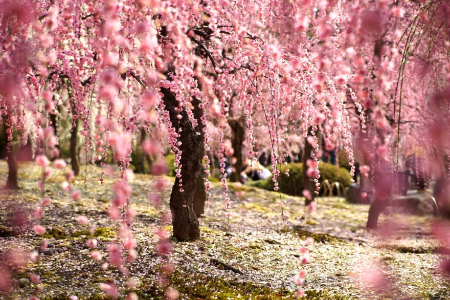 Цветение сакуры: магия цветов